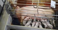 Overhead shot of a sow and her litter in a farrowing stall