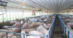 The interior of a hog finishing barn