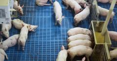 Overhead shot of pigs in a pen with a blue floor