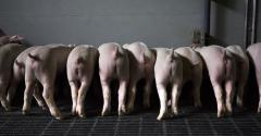 A rear view of a lineup of white piglets.