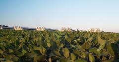 Soybean field in foreground of five hog barns