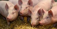 NHF_RoslinInstitute-pigs4_2.jpg