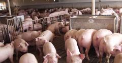 Finishing hogs