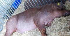 Illinois State Fair pig