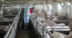 Veterinarian checking pigs