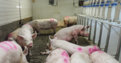 Grouping sows according to body conditionssize and parity is key to the success of a group housing system