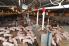 Weaned pigs