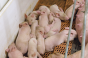 piglets in farrowing stall