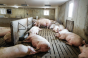 Good feeding system pen and management choices are essential to success in group gestation