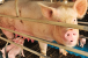 Research shows gestational heat stress results in differences in behavior feed intake and growth and affects the nutrient composition of milk produced by gilts