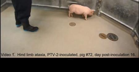Screen grab from Bailey Arruda video showing a PTV-2 inoculated pig, displaying hind limb ataxia