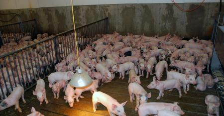 Small pigs in a pen with a heat lamp