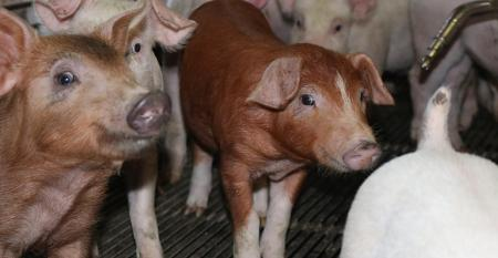 Young pigs in a pen