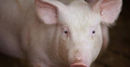 Close up picture of a white pig