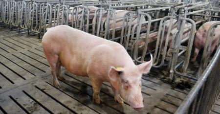A lone sow on a slatted floor in a hog barn, while other sows are in gestation stalls