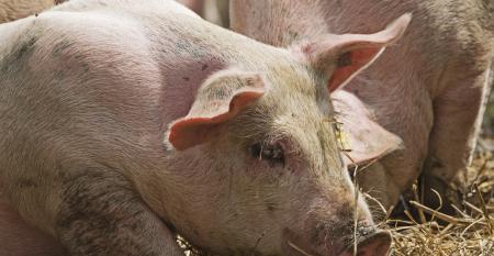 Animal Health   National Hog Farmer