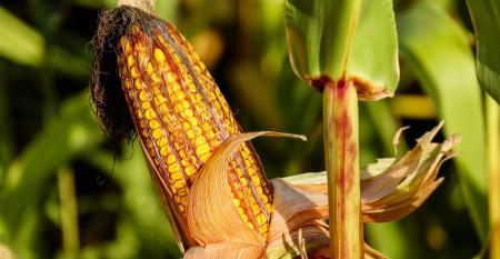 corn-1690387_1920.jpg