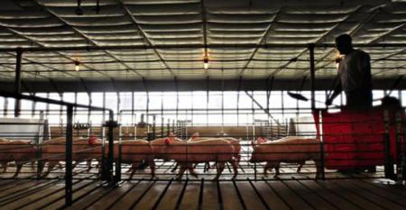 Hog slaughter have been running at full capacity.