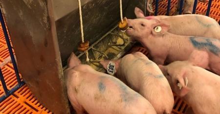 isu pigs nutritional enhancement study NHF.jpg