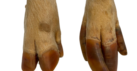 sow leg and feet.png